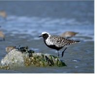 also called gray or grey plovers.