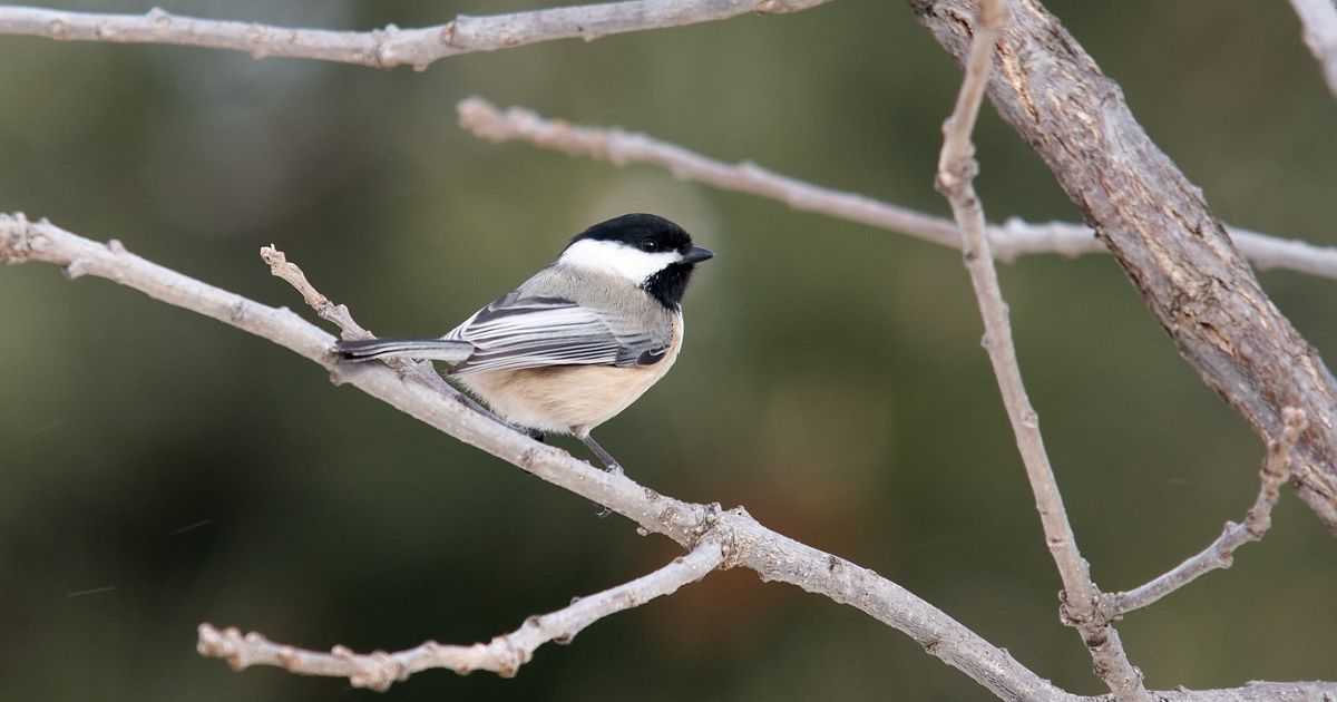Black-capped Chickadee (Poecile atricapillus) in early winter.