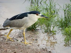 A black crowned night heron in a marsh.