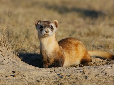 Black footed ferret standing at entrance to burrow