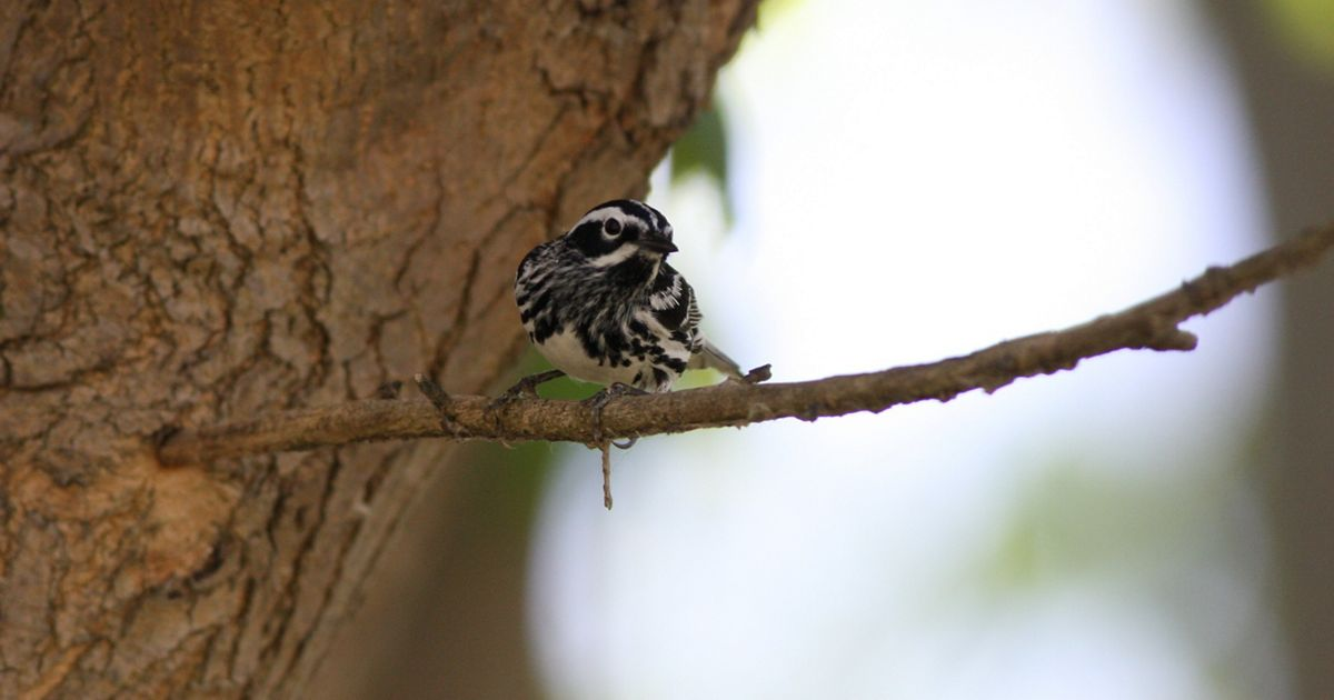 A black and white warbler has interesting striped and mottled patterns on its feathers to help it blend in.