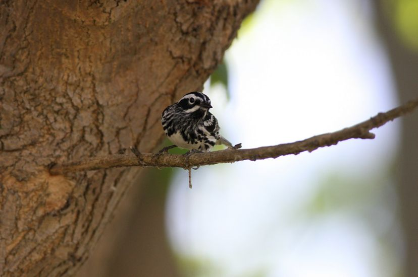 A small black and white songbird perches on a thin branch growing from the side of a large tree.