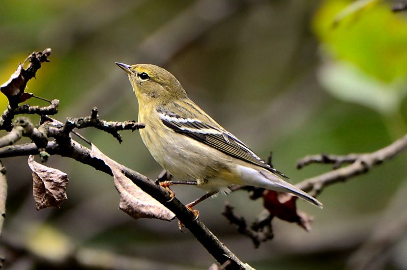 A pale yellow-brown bird with black and white striped wings sits on a branch with dried leaves.
