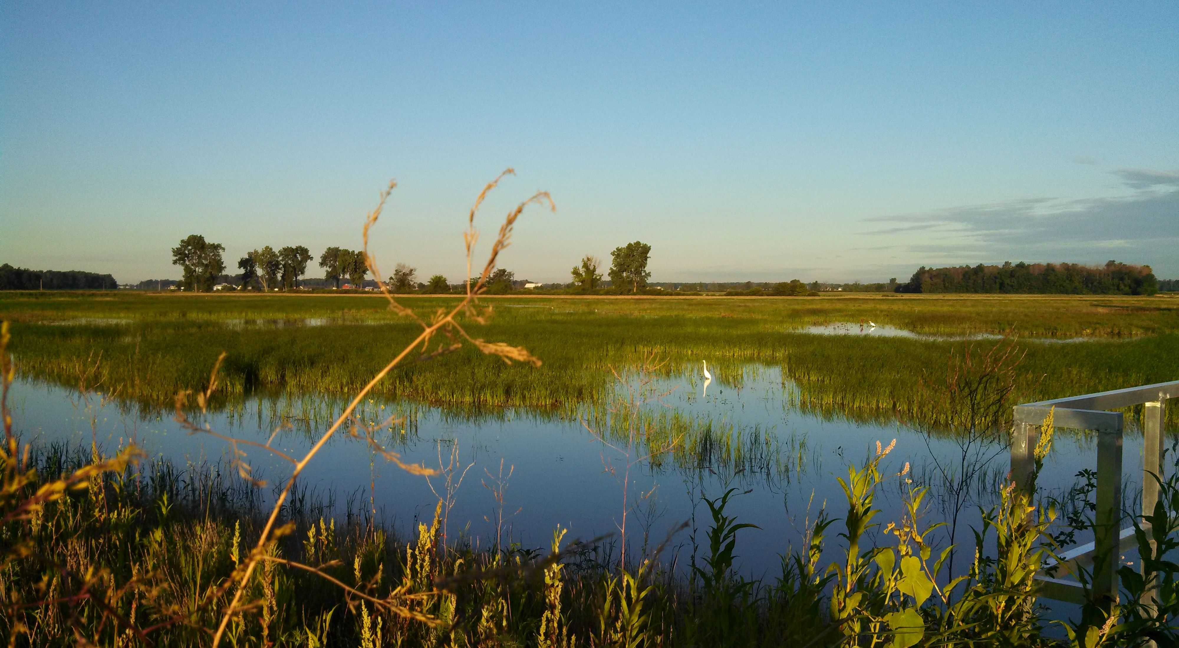 Looking over an open wetland field of grasses and water with a few white great egrets enjoying the new habitat.