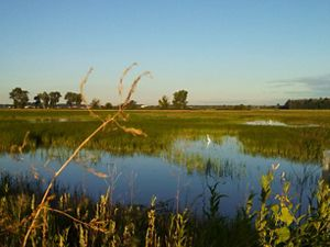 Morning sun shines on a newly restored wetland with grasses starting to grow and egrets wading in the waters.