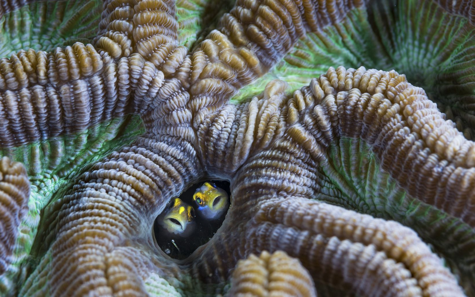 Two secretary blennies peak their heads out of a coral reef in Aruba.