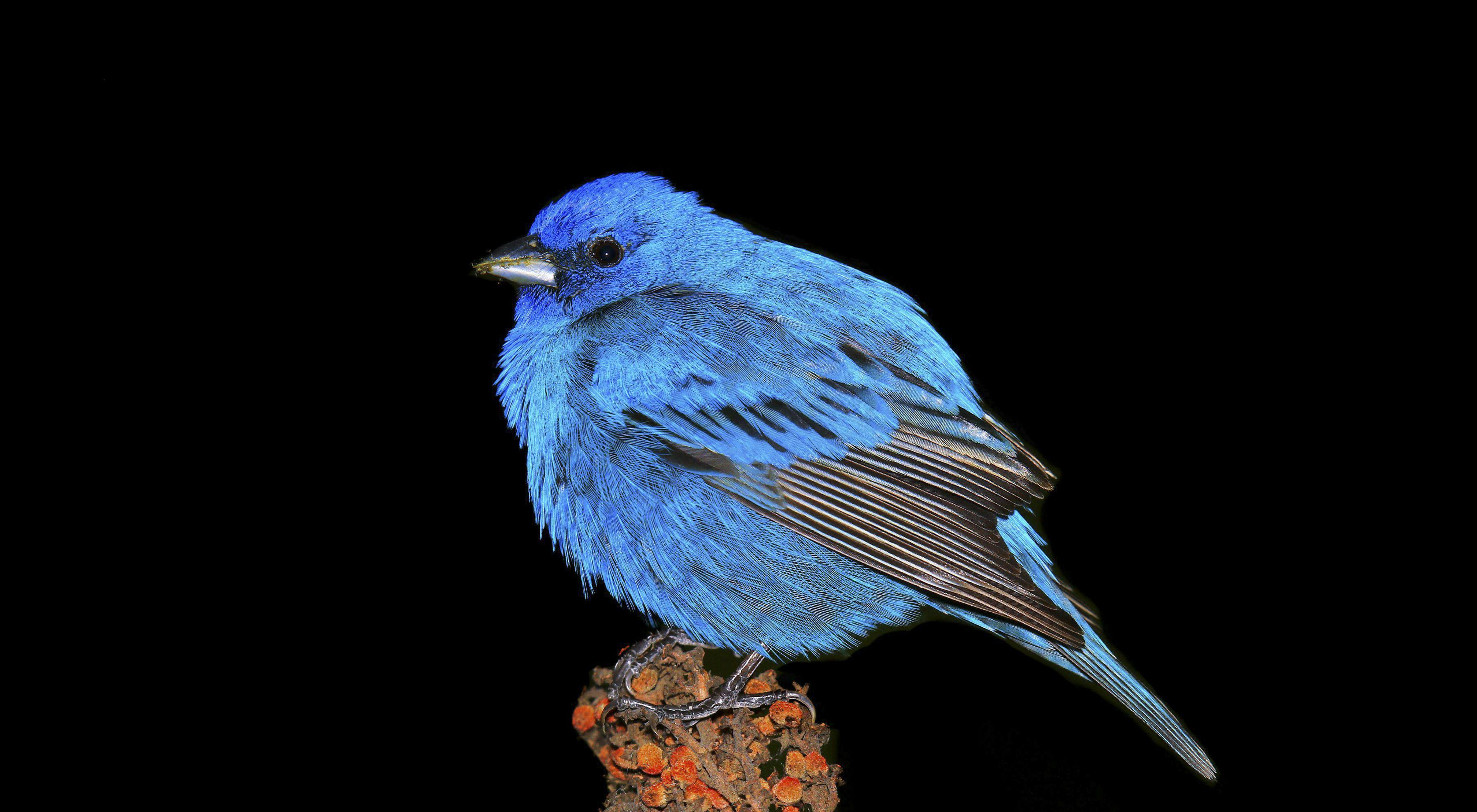An Indigo Bunting perches on a weed with its feathers ruffled up in Lemont, Illinois, on May 20, 2015.