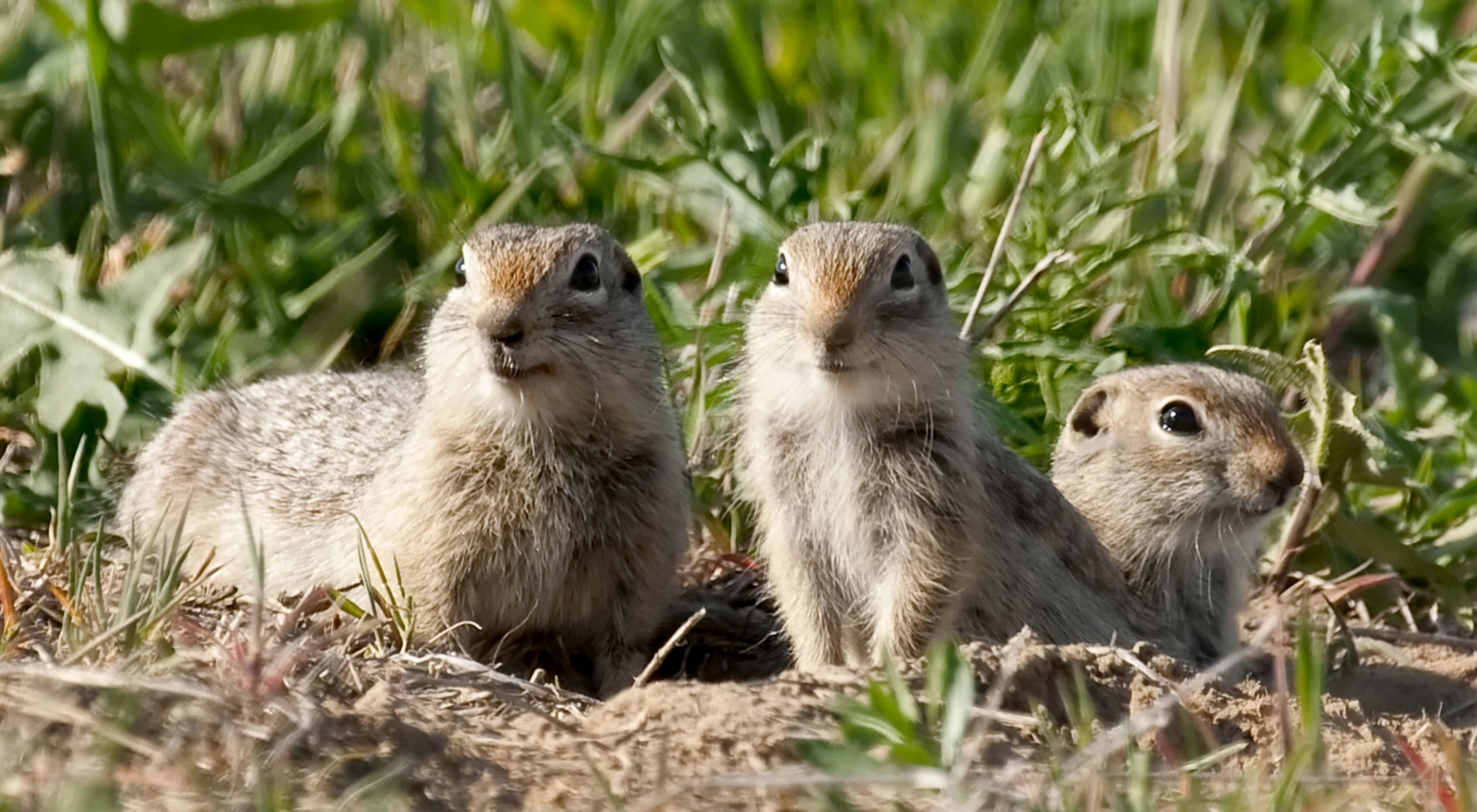 Washington ground squirrels found at the Conservancy's Boardman Grasslands along the Columbia River Gorge.