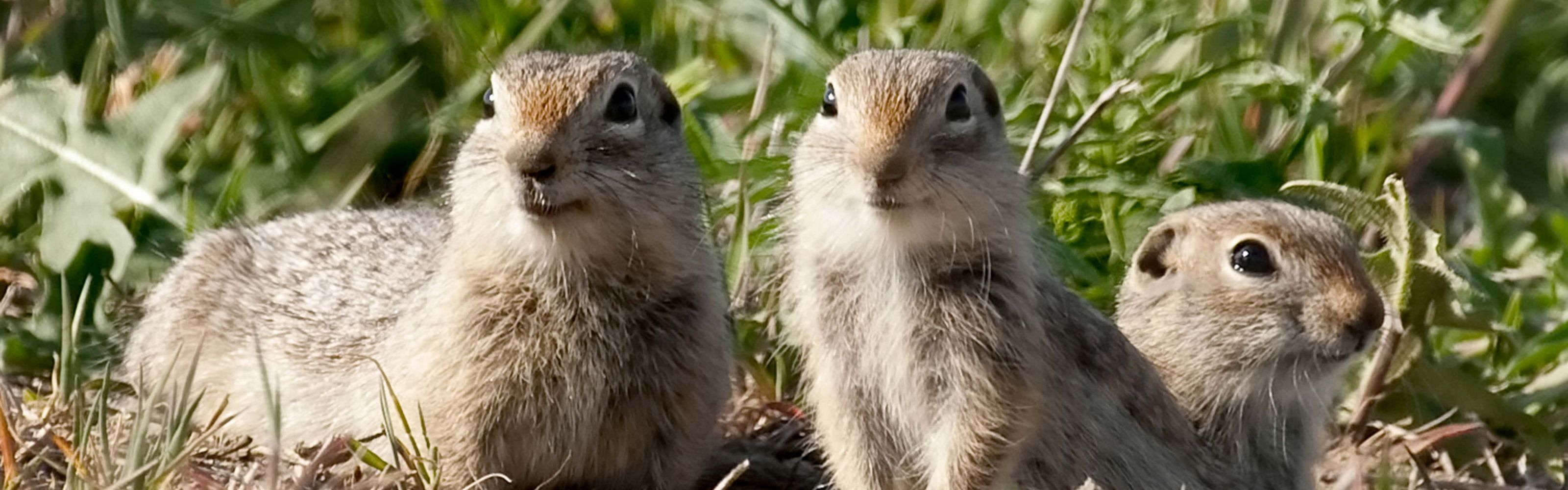 Prairie dogs at Boardman Grasslands