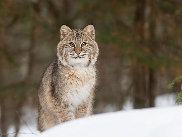 A bobcat in the snow.