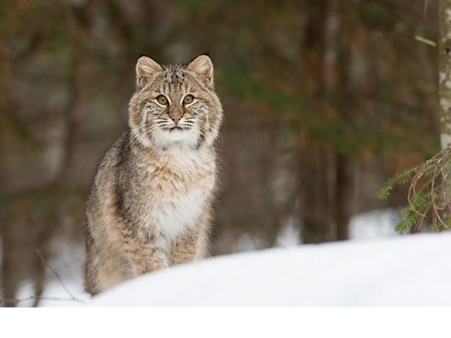 Male bobcats will roam upwards of 60 square miles in search of food, shelter and mates.