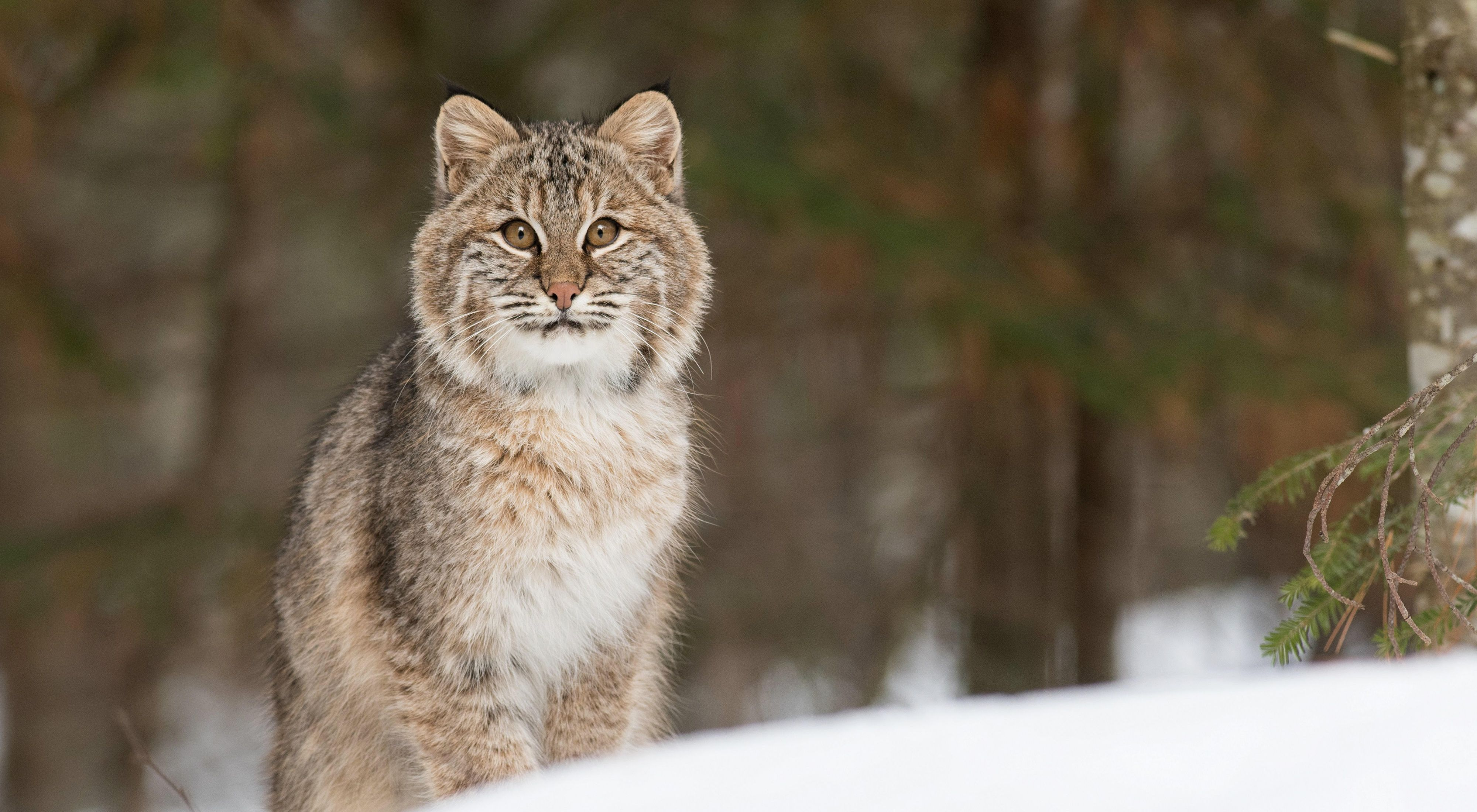 Bobcat on the move in Vermont's snowy forests.