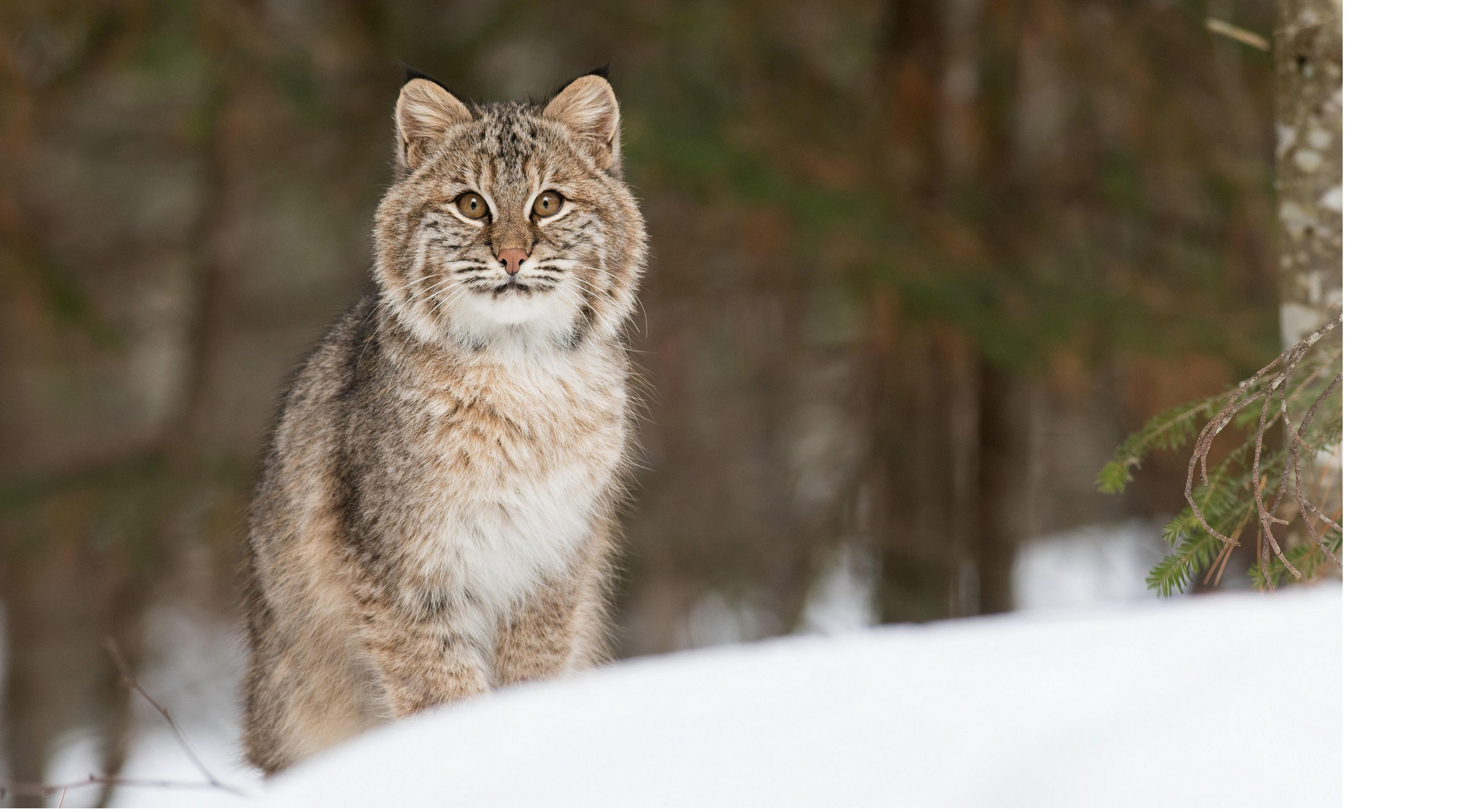 Bobcat in a snowy forest