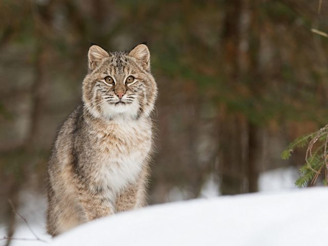 A gray striped bobcat stands in the snow looking at the camera.