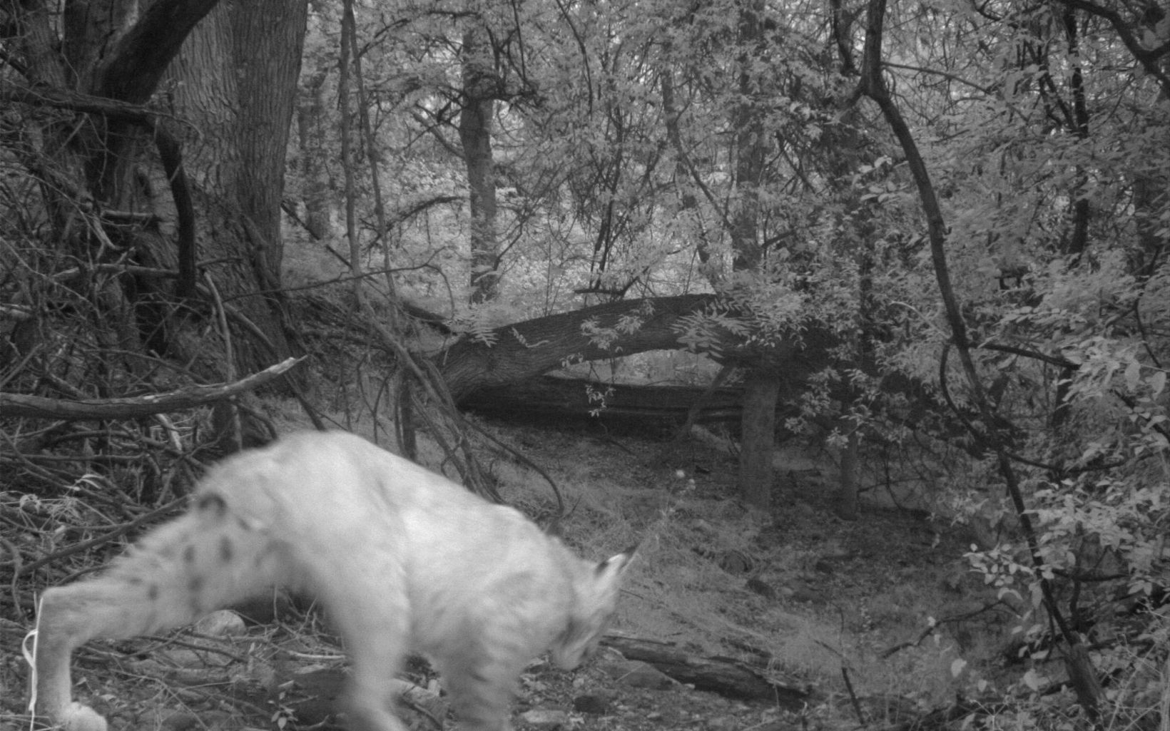 Bobcat at night walks in front of the trail camera