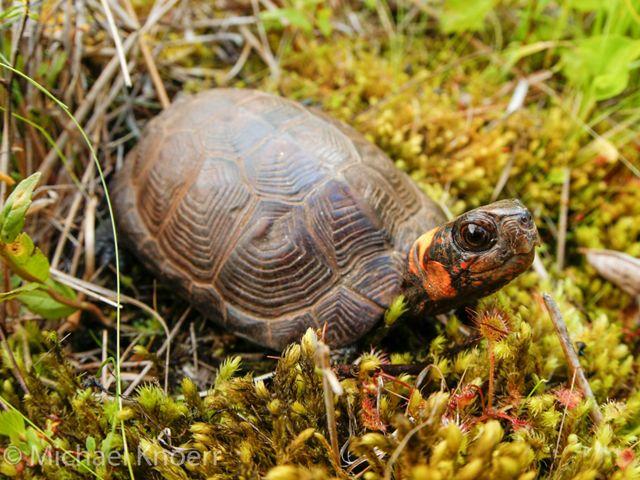 Bog turtle.