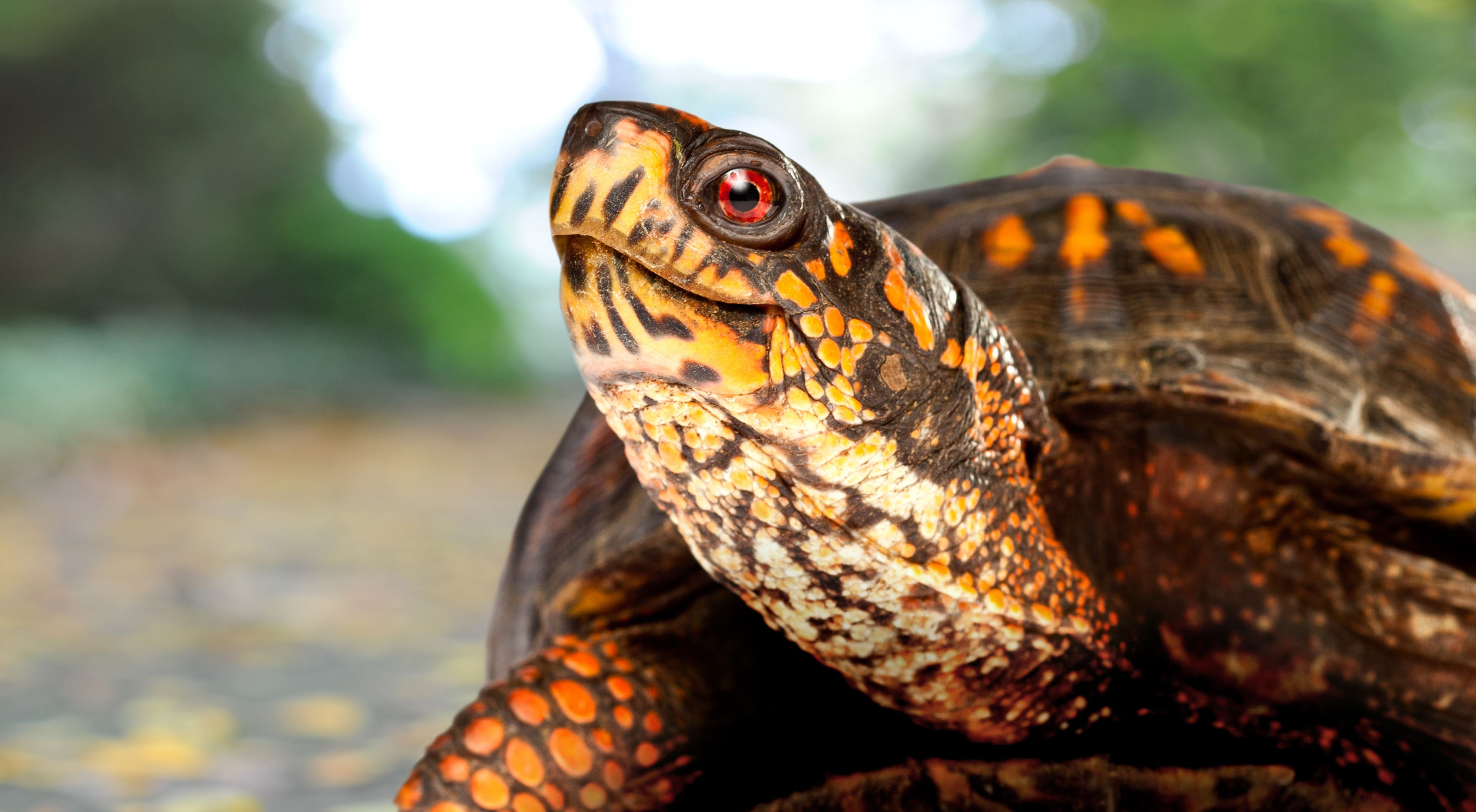 Closeup of a box turtle.