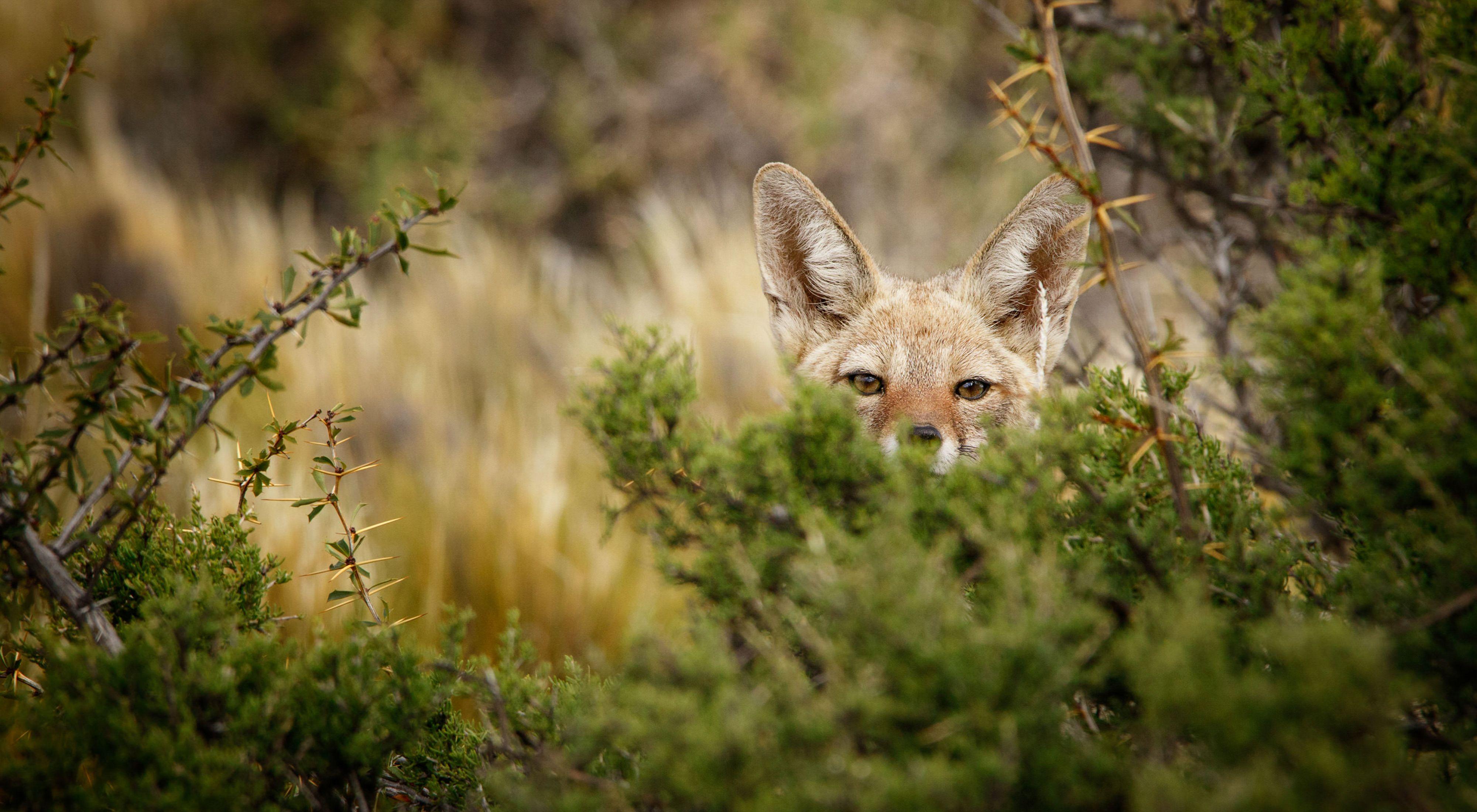 Uma raposa observa por trás de arbustos na Patagônia.