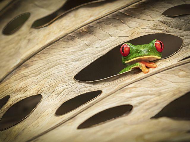 Uma Rã de olhos vermelhos observa por meio de buracos de uma folha na Costa Rica.