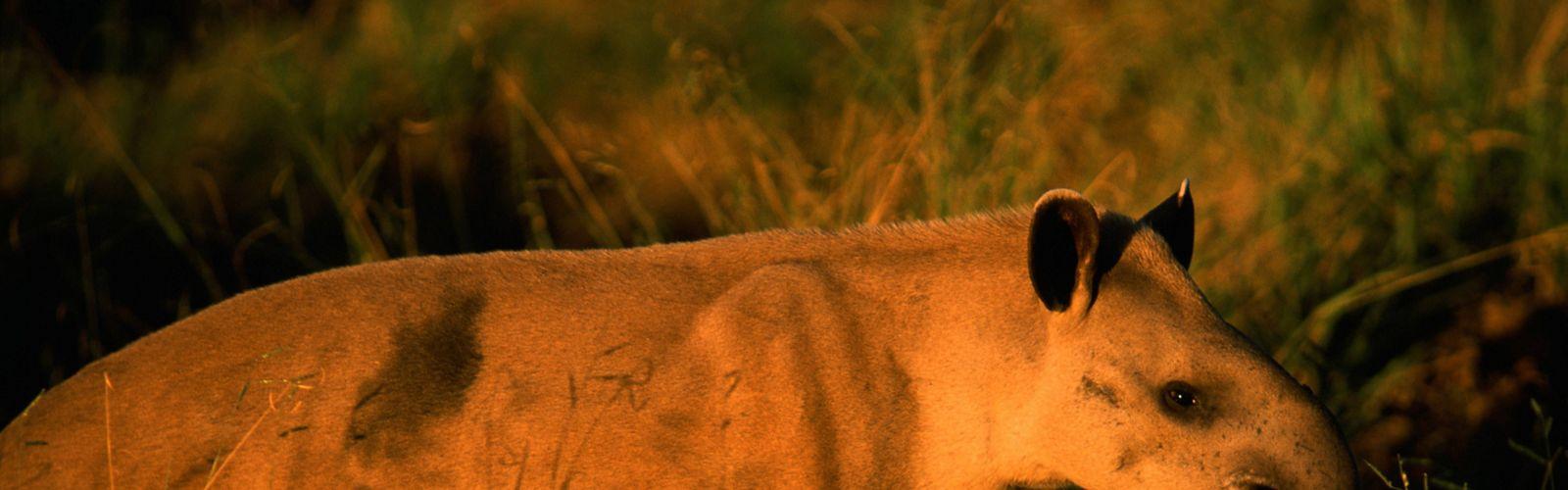 Uma anta (Tapirus terrestris) ao longo da estrada na fronteira com o Parque Nacional das Emas ao pôr do sol no Cerrado dos Brazil