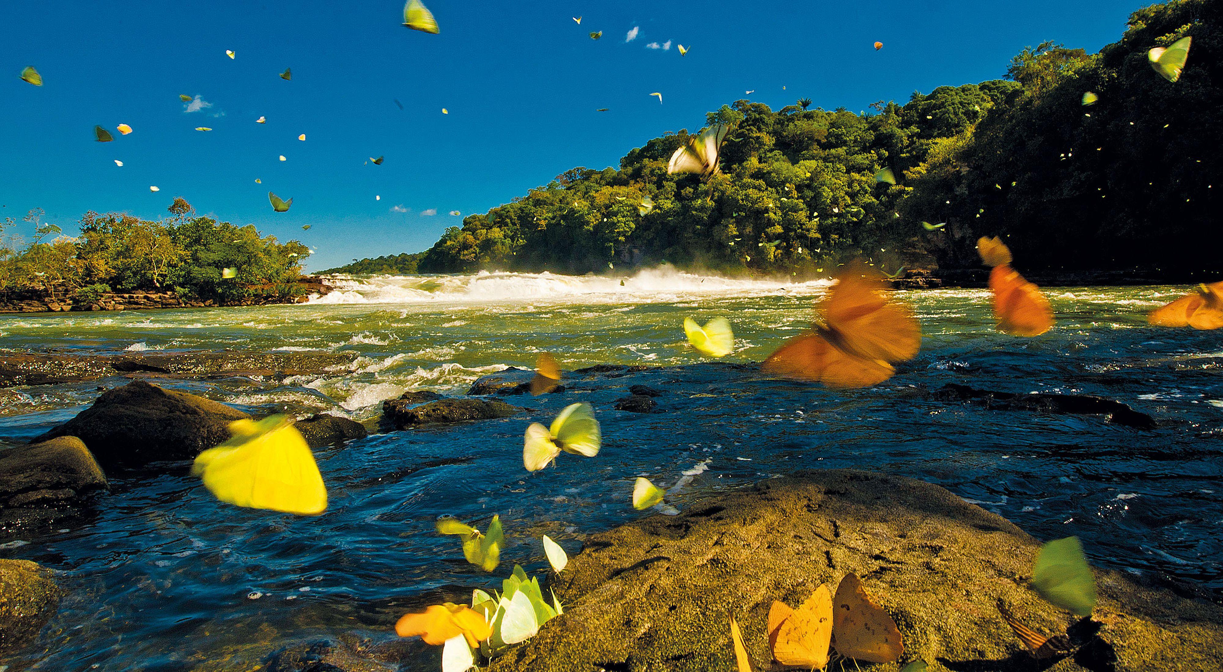 Borboletas no Rio Juruena, no estado do Mato Grosso