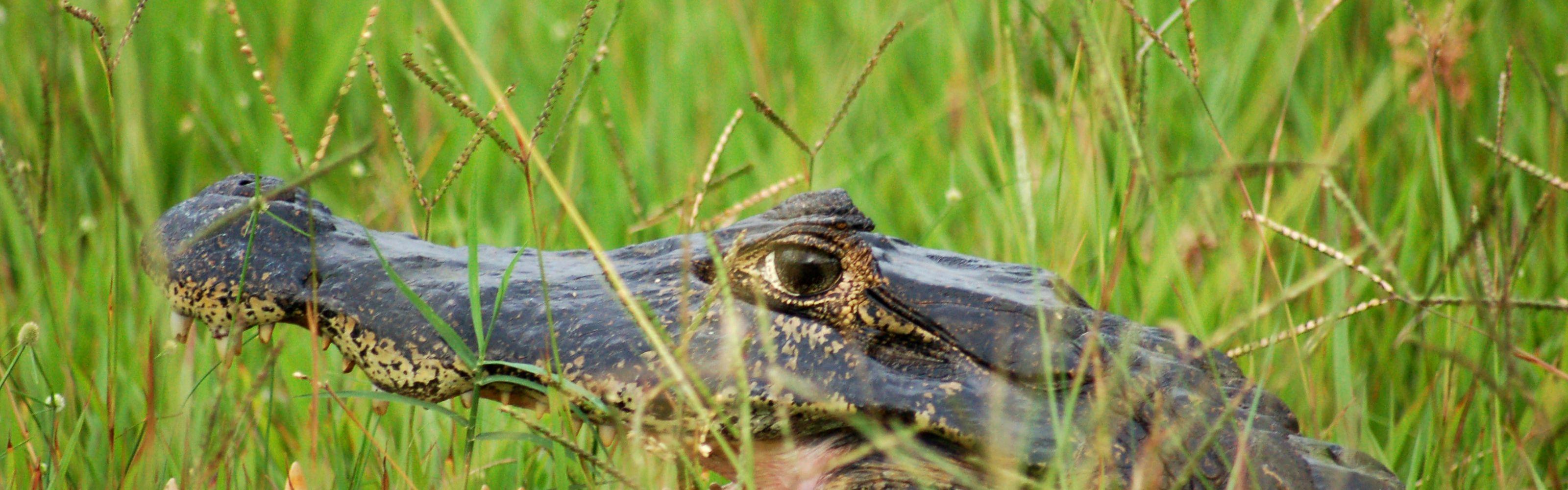 Bem escondido nas altas gramíneas do pantanal da região brasileira do Pantanal, o caimão (Caiman crocodilus).