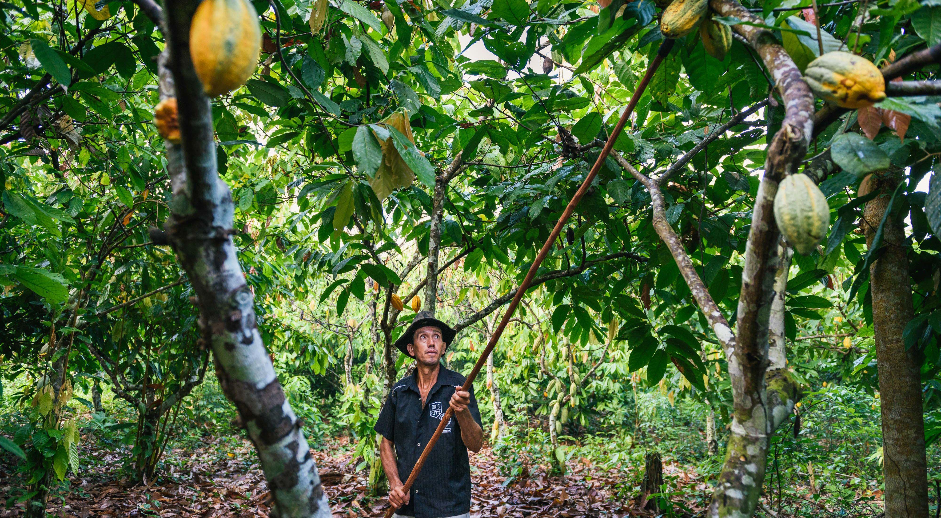 Agroflorestas possibilitam alavancar a restauração florestal em áreas degradas, aumentando a produção de alimentos e gerando renda para produtores rurais.