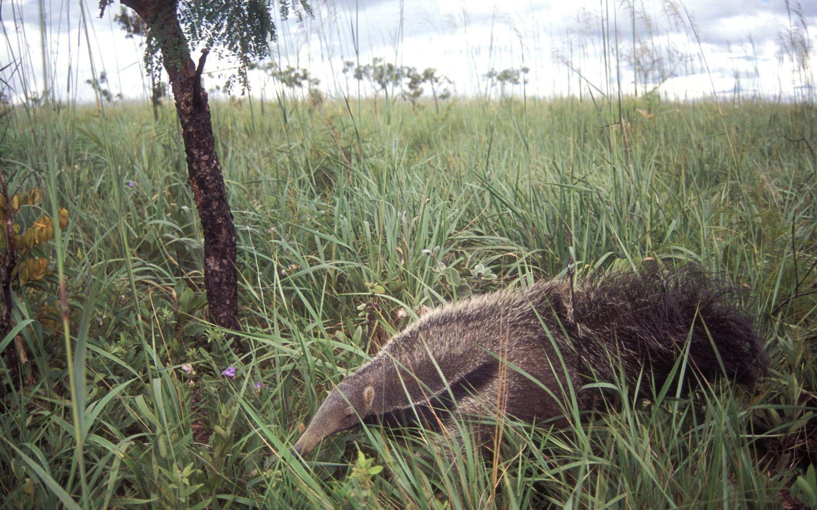 O Cerrado abriga uma grande diversidade de espécies, como o Tamanduá.