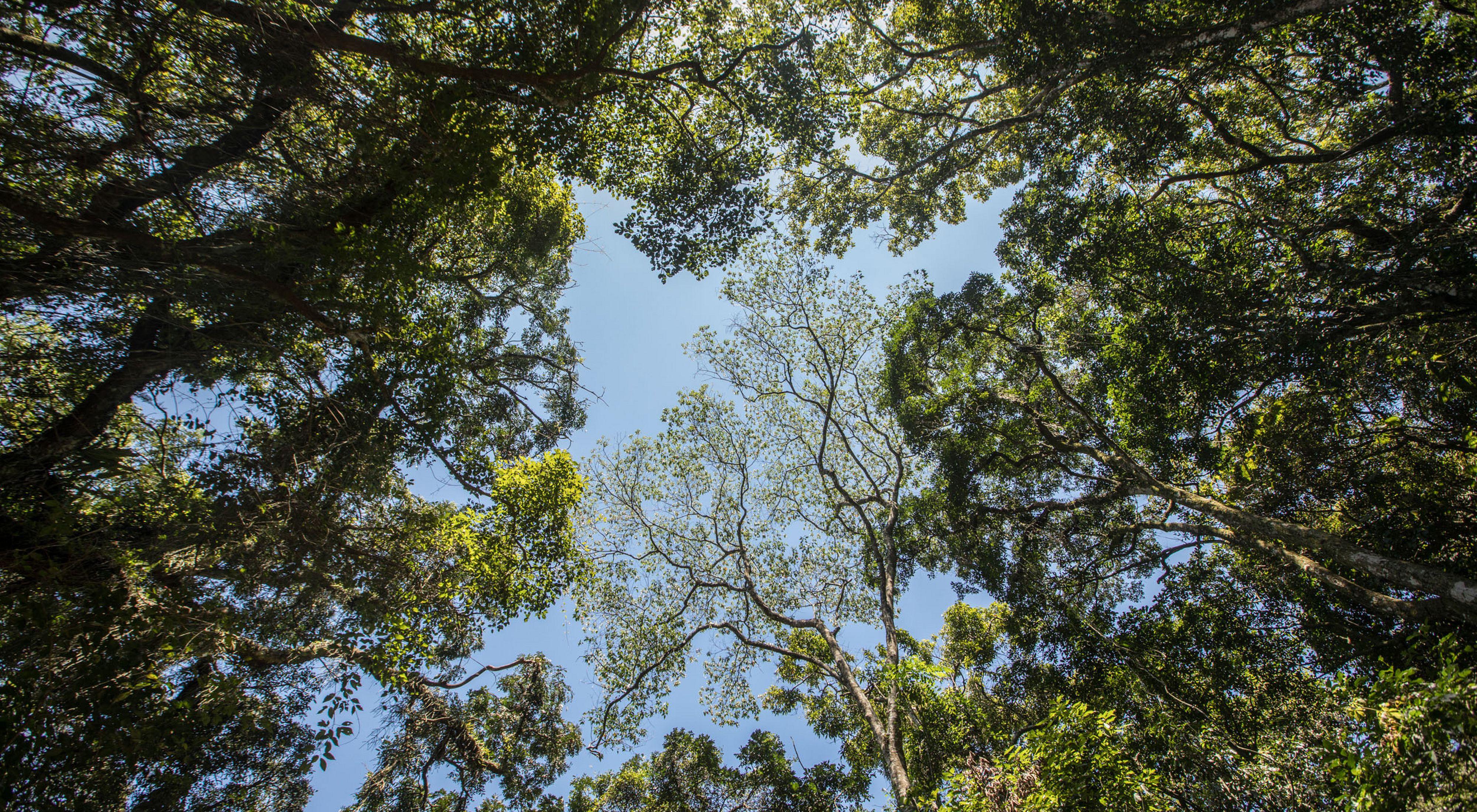 Copas de árvores no Parque Estadual da Serra da Cantareira
