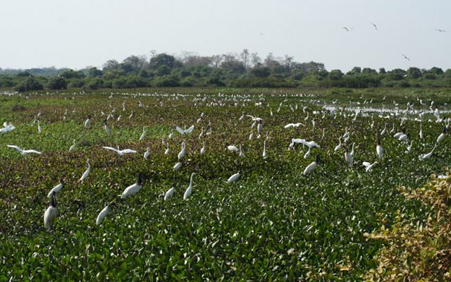 Jabiru storks and egrets in Pantanal wetland, Mato Grosso State, Brazil