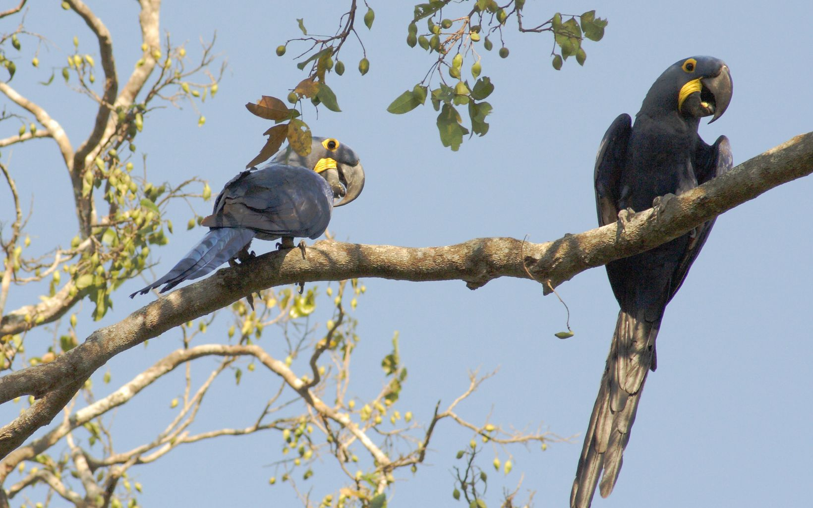 Hyacinth macaws, Pantanal, Mato Grosso State, Brazil