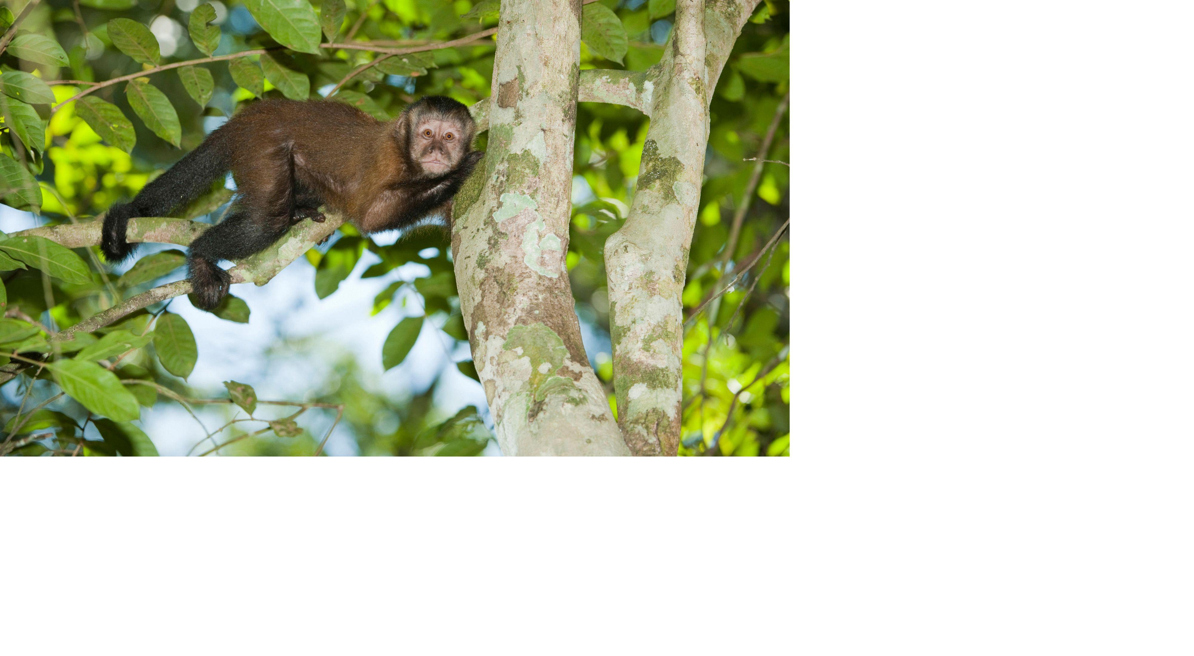 Macaco em Floresta no Oiapoque-AP