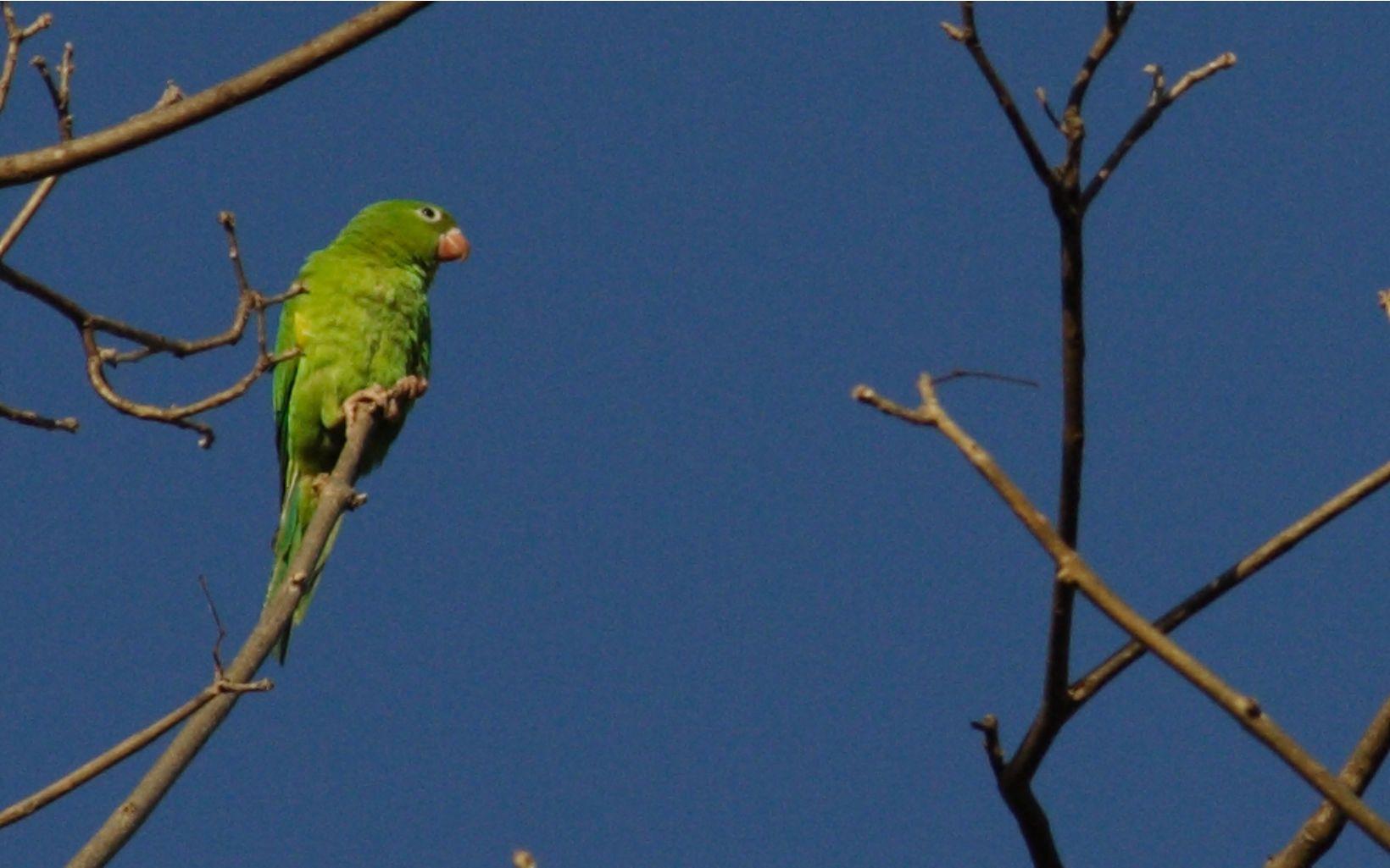 Parakeet in Brasilia