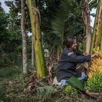 Pindamonhangaba, SP, Brazil: 09/19/2018:  Maria Salete Eugênio coleta banana produzida em sistemas agroflorestais na Fazenda Nova Coruputuba.