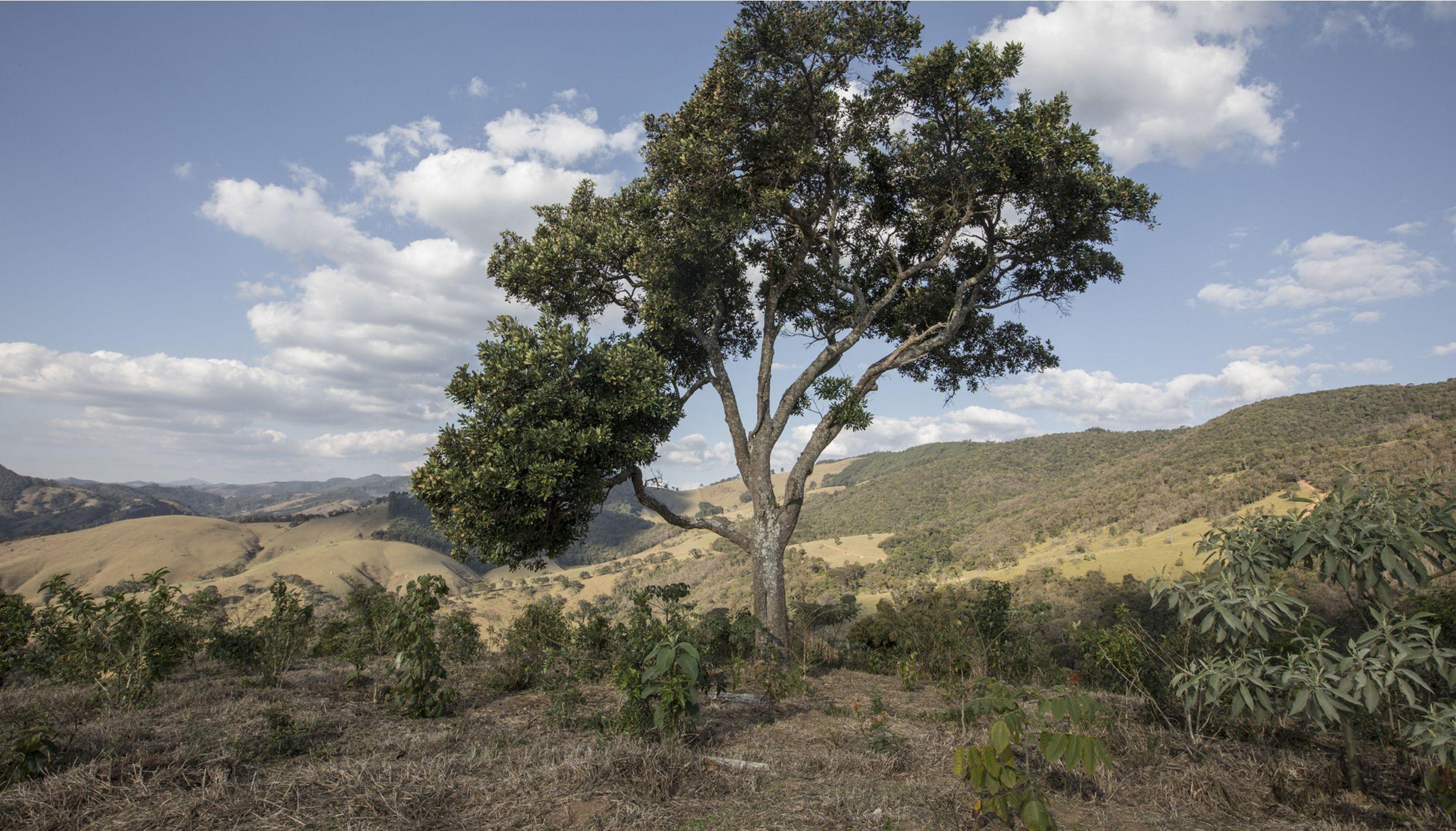 Uma árvore grande em meio a uma área recente de restauração com pequenas árvores.