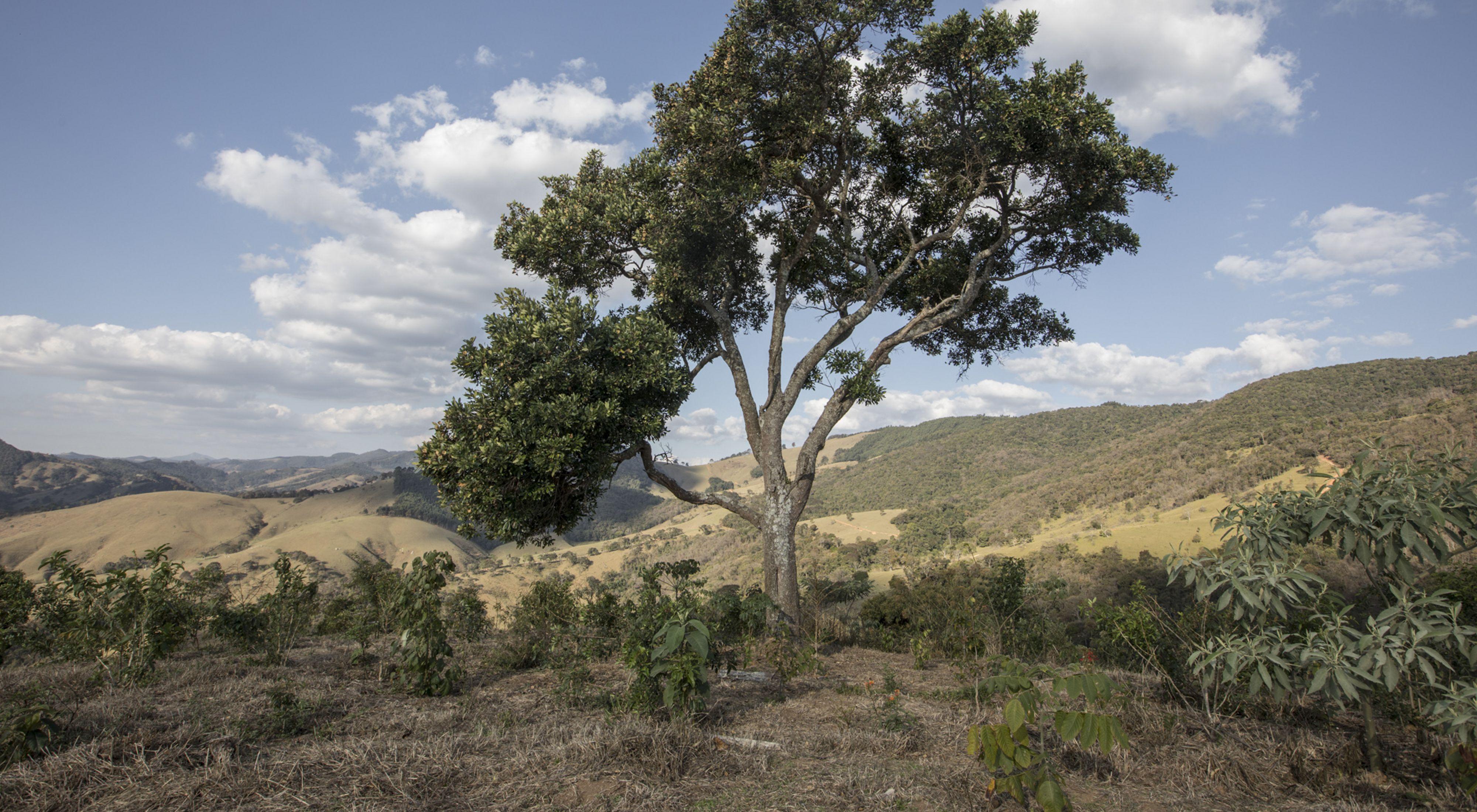 Área restaurada em Extrema-MG após um ano de plantio. Anteriormente a árvore de grande porte estava solitária em meio a um antigo pasto degradado.