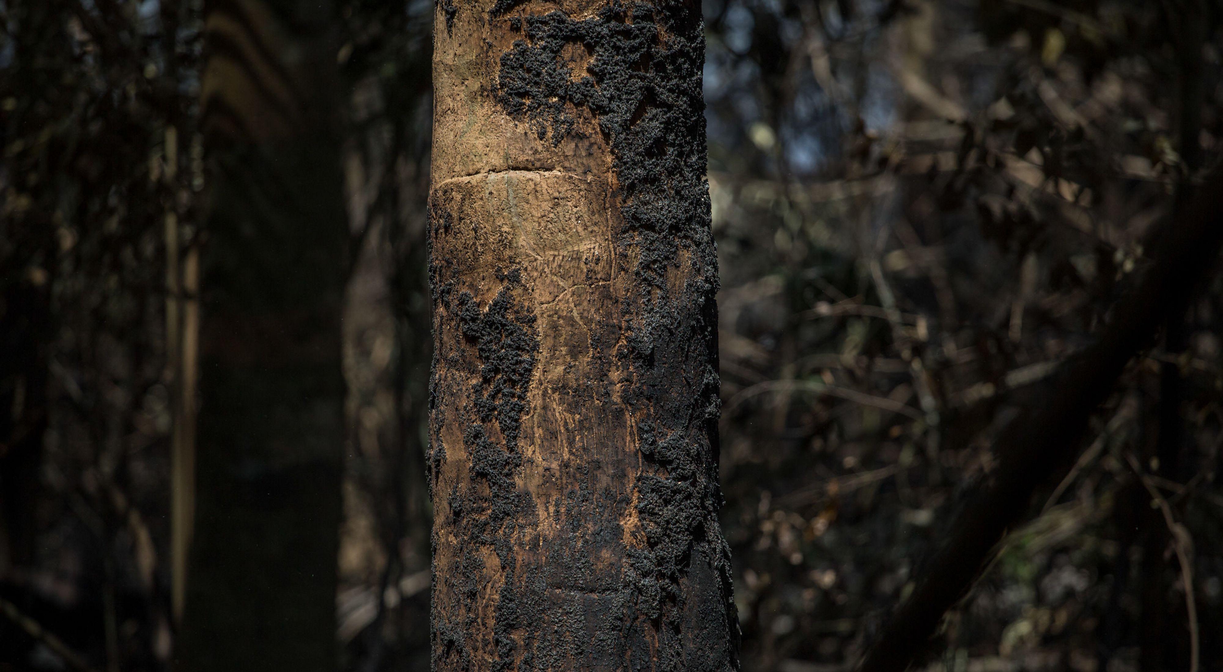Árvore queimada após incêndio na região do Rio Tapajós, no Pará, no ano de 2017.