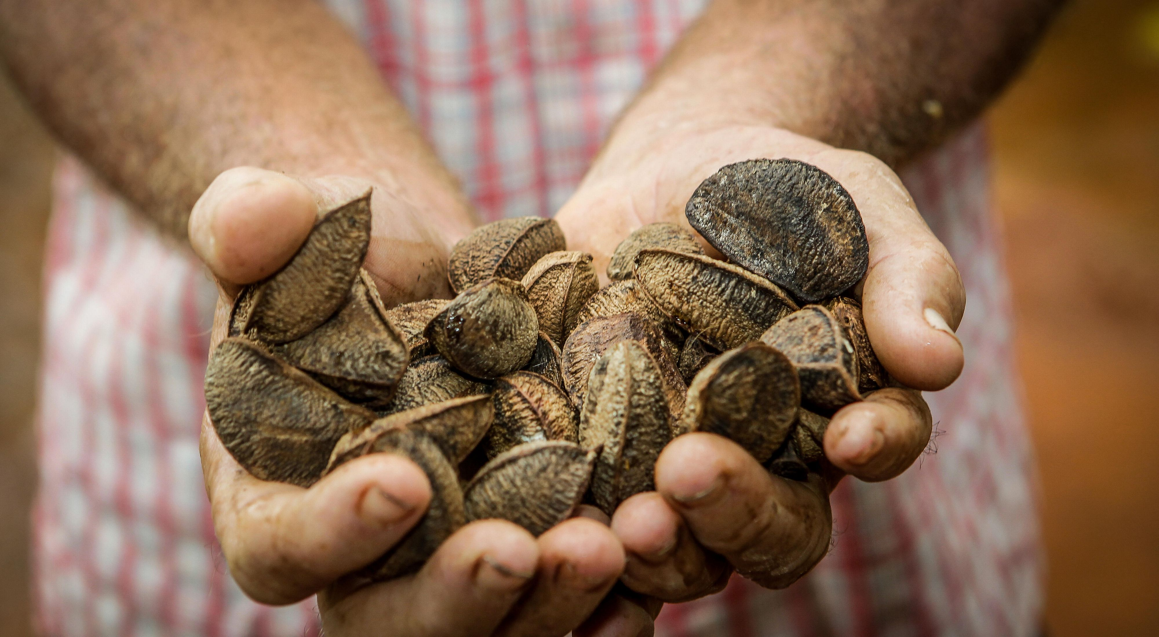 A farmer holds Brazilian nuts on his property in São Félix do Xingu, Brazilian Amazon.