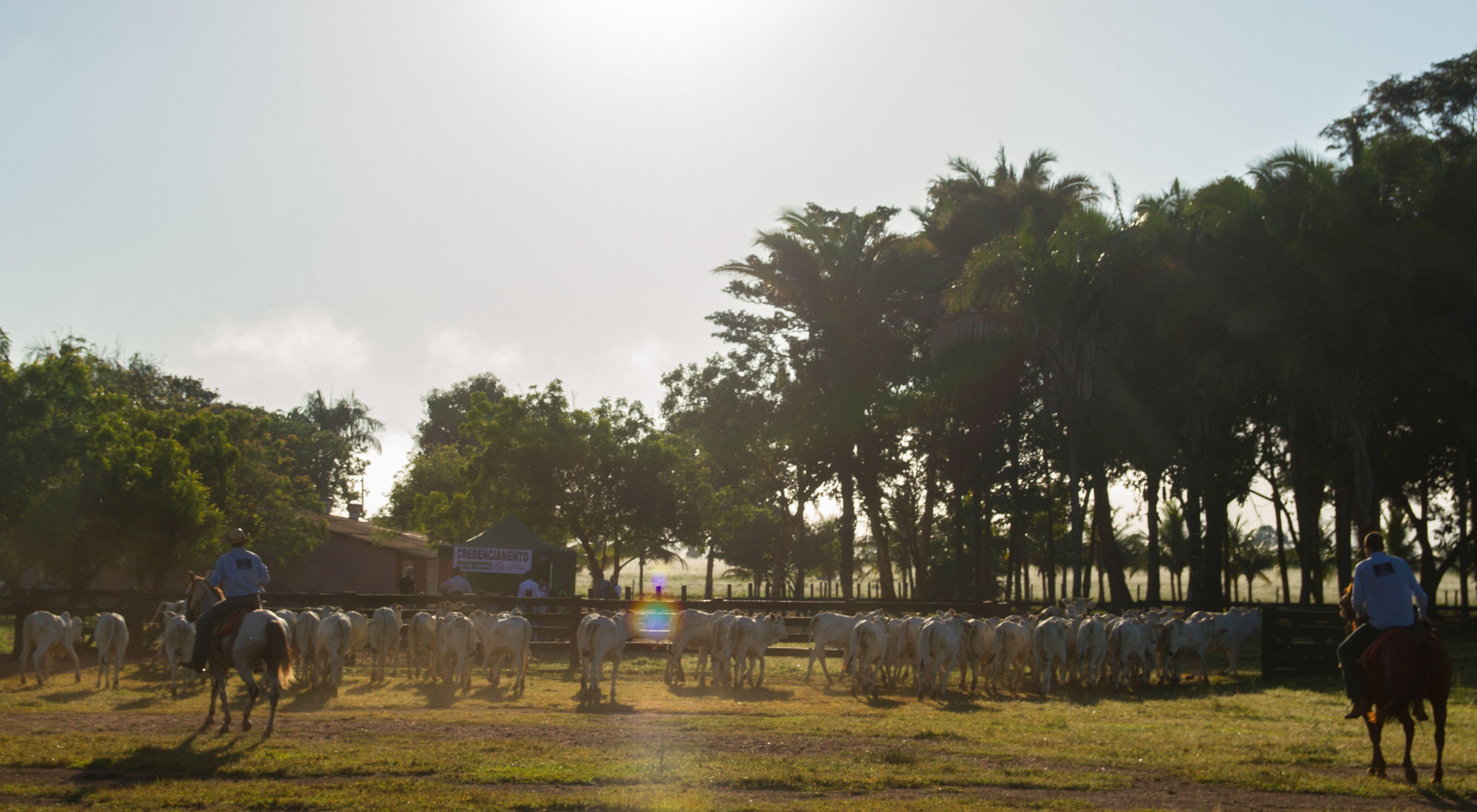 Peões manejando o gado na Fazenda Santa Célia, em Nova Xavantina-MT.