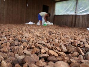Indígena Xikrin trabalhando na seleção de castanha do Pará, em paiol na terra indígena Trincheira-Bacajá, no Pará.