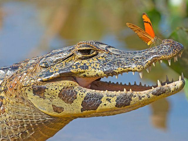 Mariposa absorvendo sais minerais de um jacaré no Pantanal, Mato Grosso, Brasil.