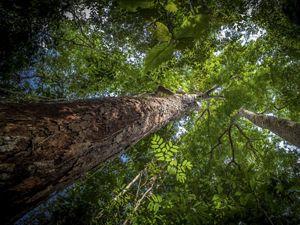 Árvore de Angelim Ferro na Floresta Amazônica, em dezembro de 2014.