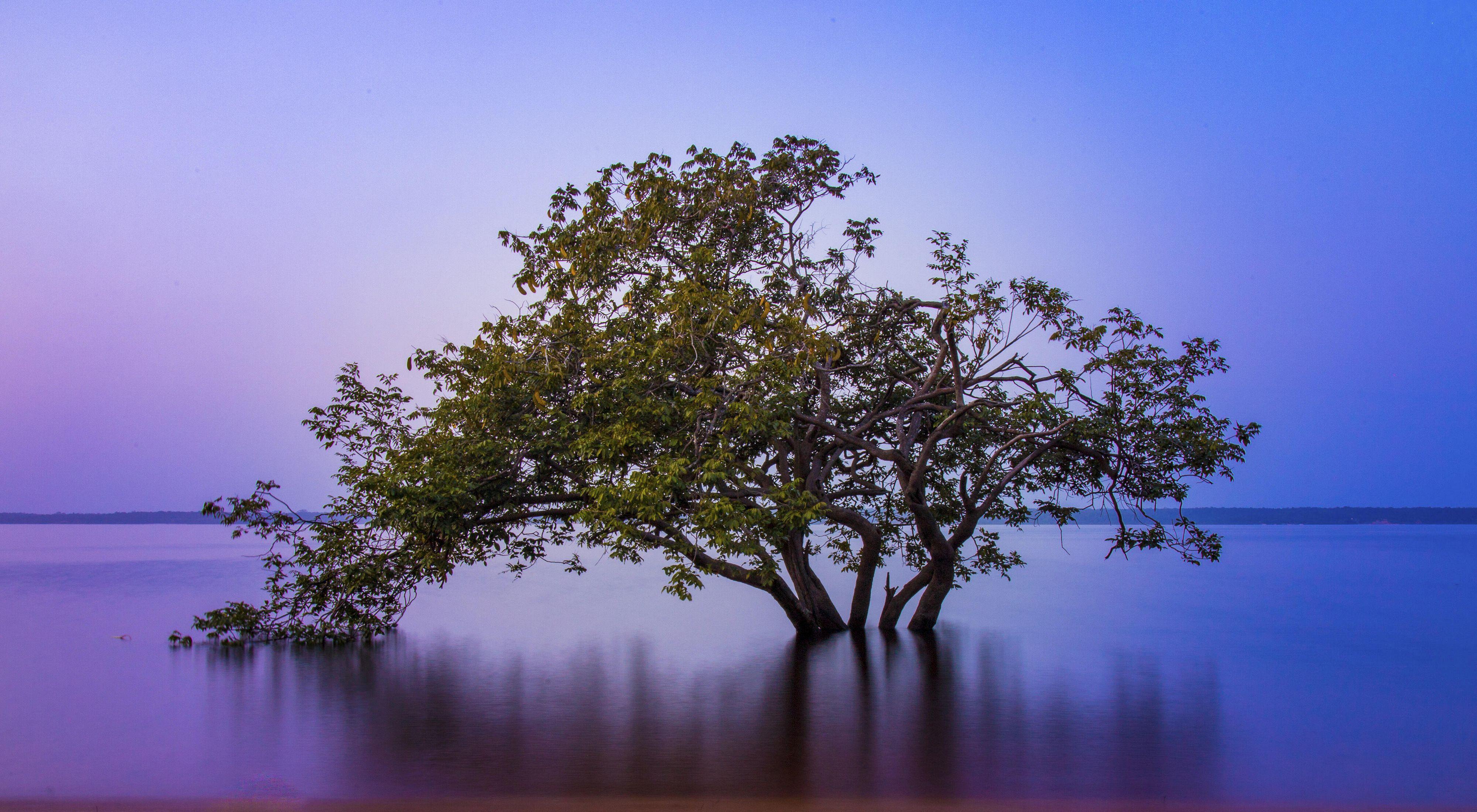 Árvore Angelim Ferro Amazônico em meio a floresta.