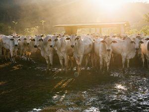 cattle in ranch in Southern Pará, Brazil.