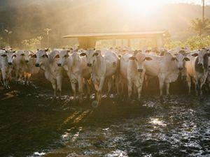 gado em propriedade rural