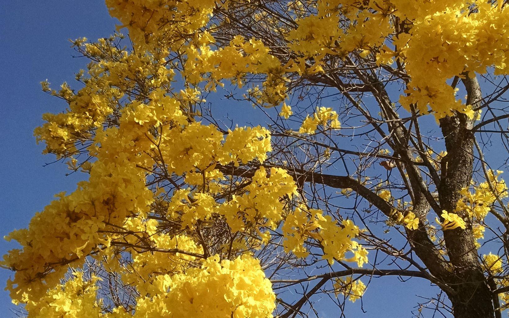 golden ipê tree