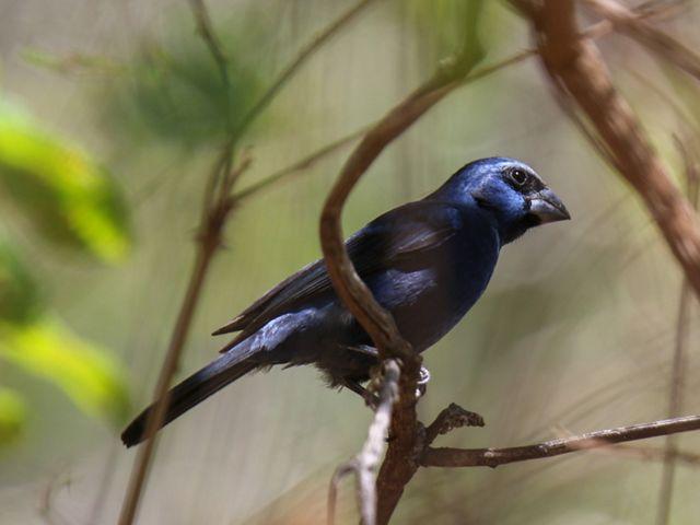 O azulão, Cyanoloxia brissonii, foi outra das espécies que retornou a região.