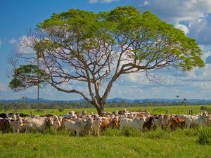 Gado em propriedade rural de São Félix do Xingu, no Pará.