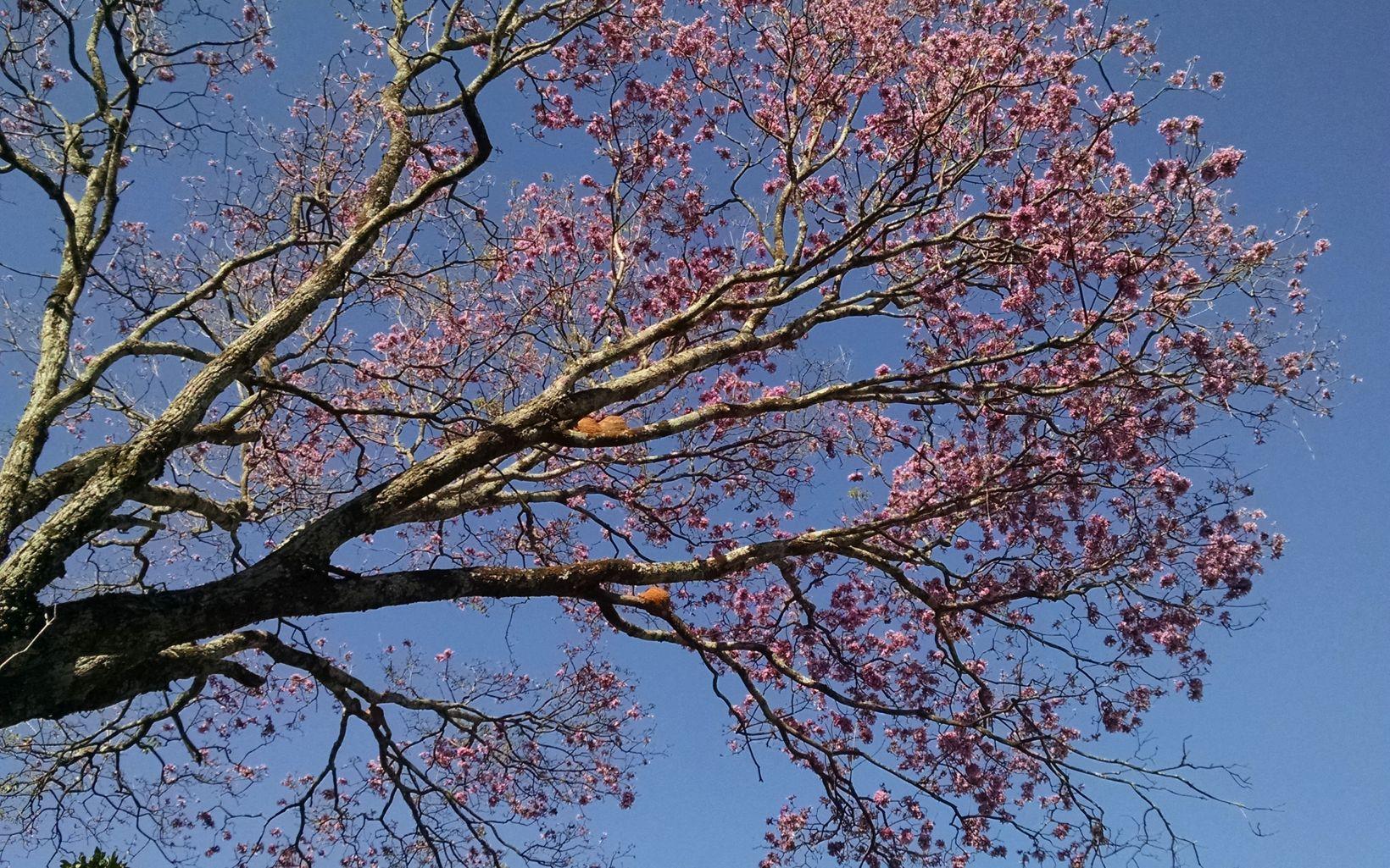 pink ipê tree