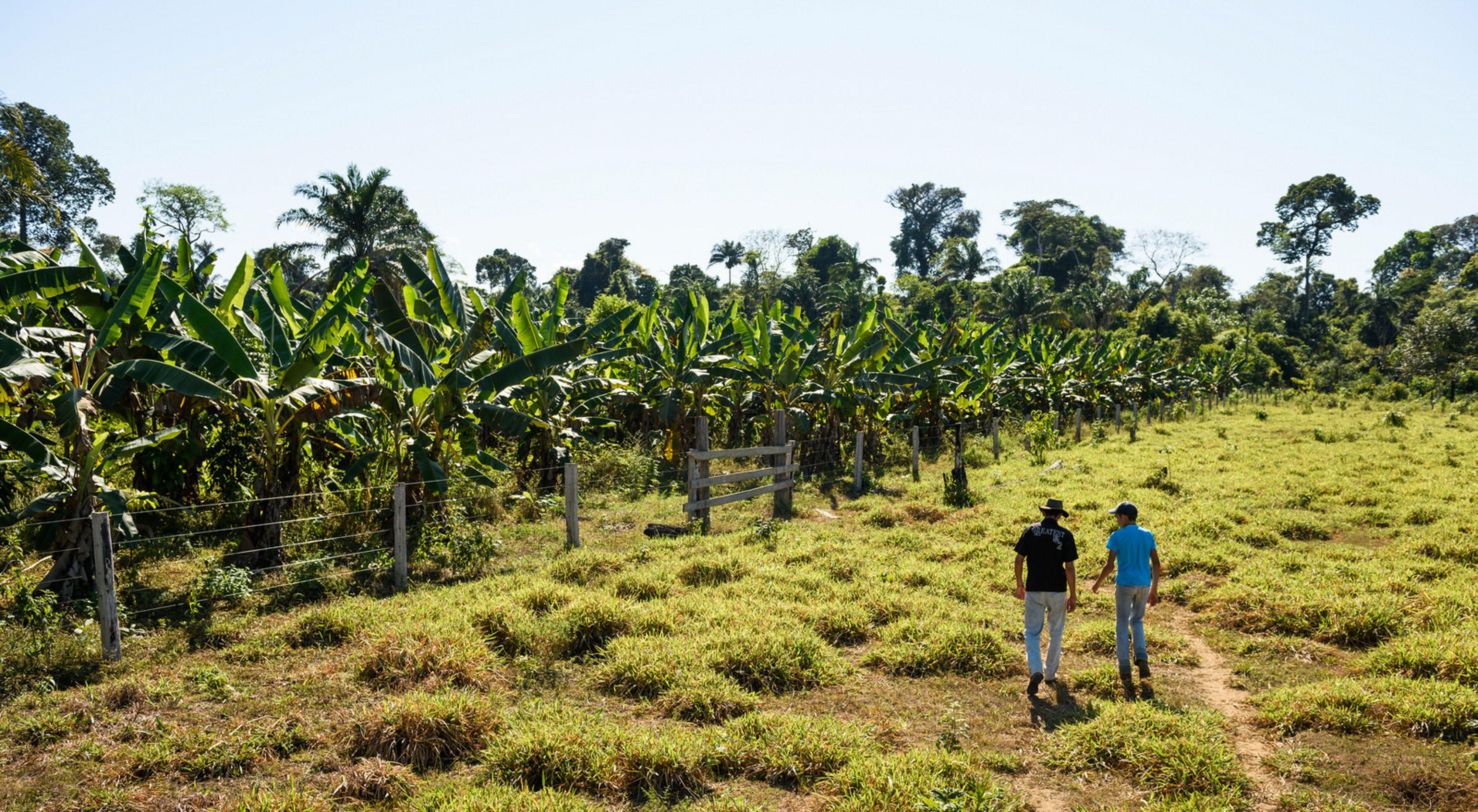 Dos personas caminan por un campo hacia un parche de árboles en una granja en Brasil